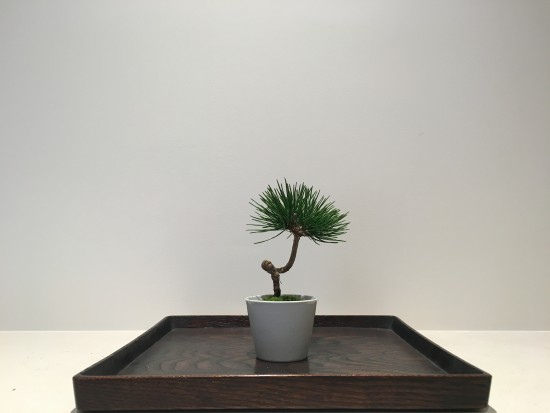 The pine tree potted in to Imari Porcelain by Hanamasa in Kyoto and the lacquer tray hollowed out and painted by Syuzo Shingu.