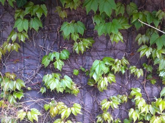 Ivy leaves shot in Teshima